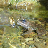 Red-legged frog juvenile