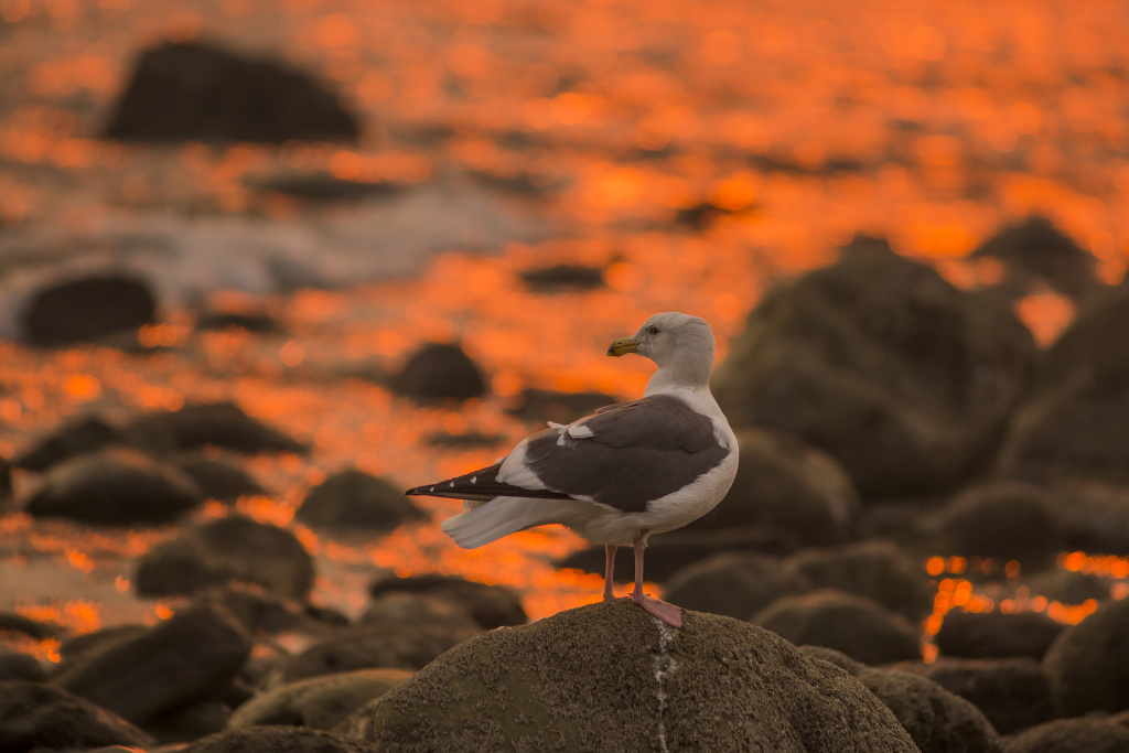 A seagull looks for food as the Thomas Fire continues to grow and threaten communities from Carpinteria to Santa Barbara on December 12, 2017 in Carpinteria, California.