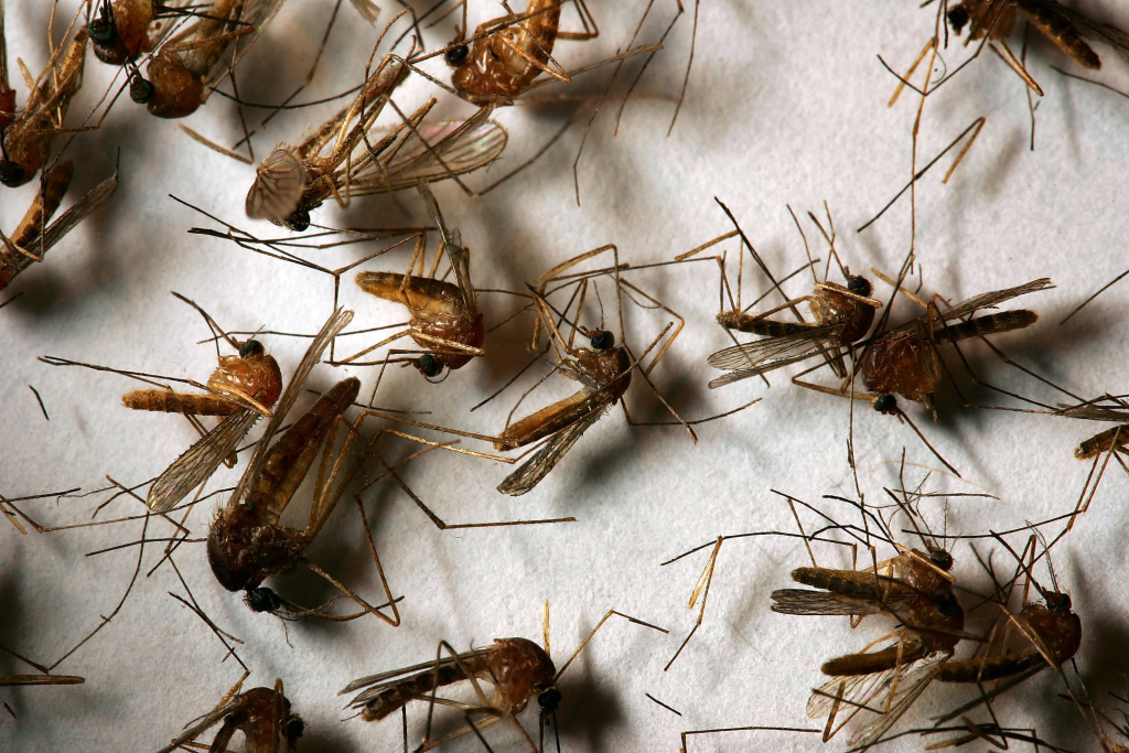A field sample of mosquitoes that could carry West Nile Virus is seen at the offices of the Riverside County Department of Environmental Health on April 26, 2007 in Hemet, California.