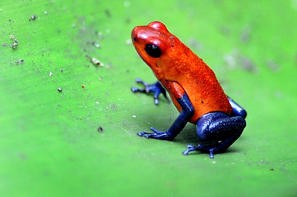 Picture of a poisonous frog (Oophaga pumilio) taken in one of the gardens of a private hotel near La Fortuna, in the Costa Rican rainforest some 110 km northwest of San Jose, on April 5, 2010.