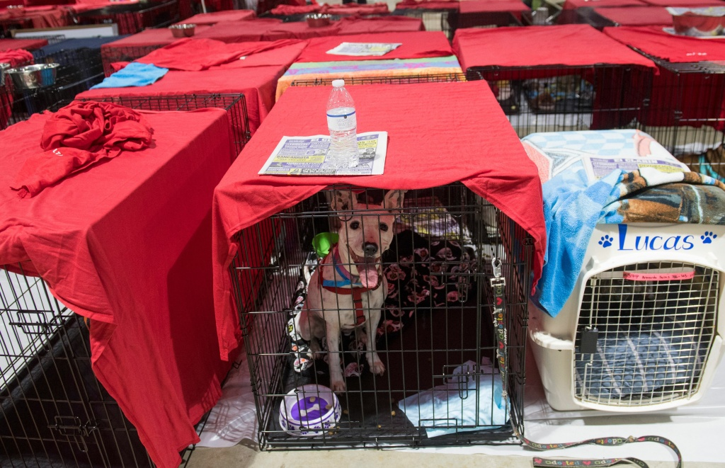 Dogs sit inside their cages as hundreds of people gather in a pet-friendly emergency shelter at the Miami-Dade County Fair Expo Center in Miami, Florida on September 8, 2017, ahead of Hurricane Irma.