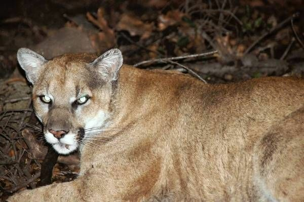 A National Park Service photograph of mountain lion P22.