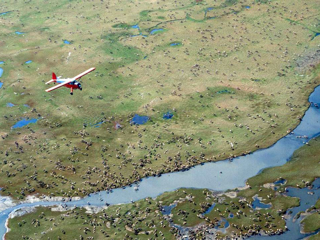 An airplane flies over caribou on the coastal plain of the Arctic National Wildlife Refuge, where the Trump administration is moving to sell leases for oil drilling.