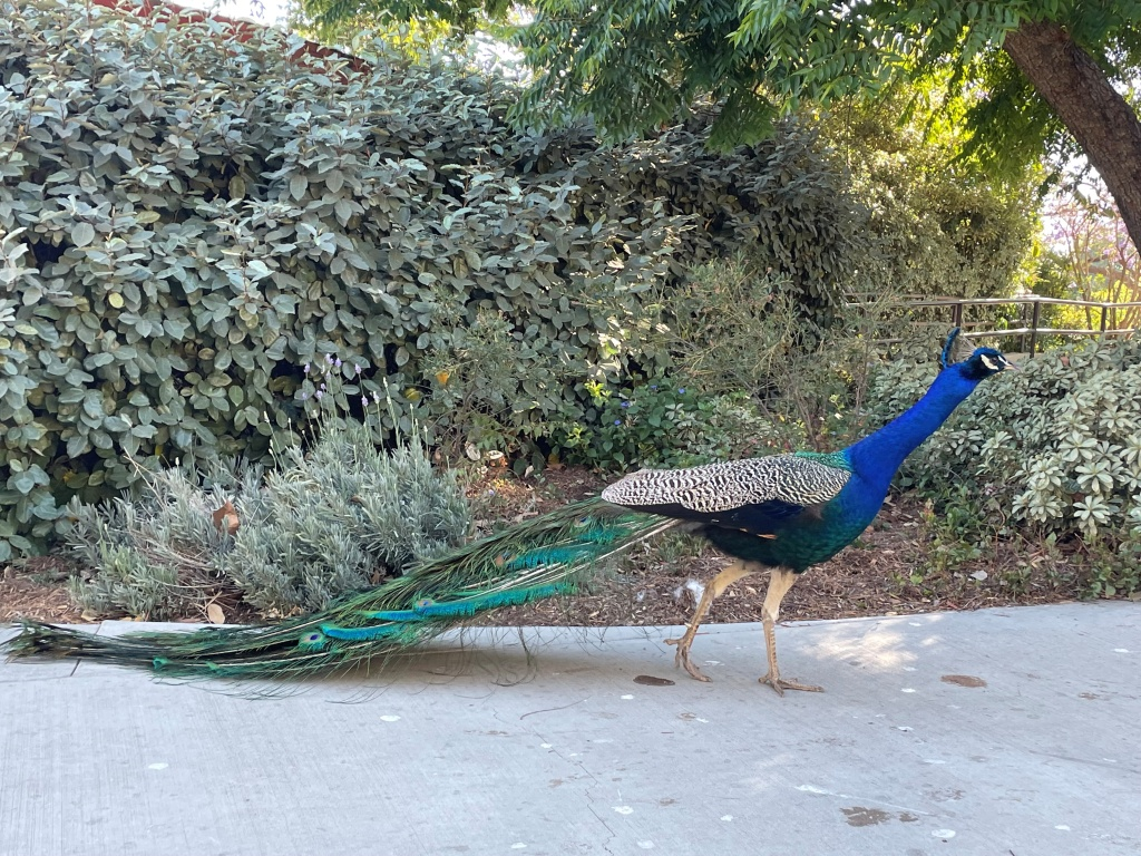 A peacock walks along a sidewalk at the Los Angeles Country Arboretum and Botanic Garden on June 13, 2021.