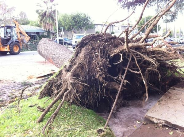 Uprooted South Pasadena Tree wind storm