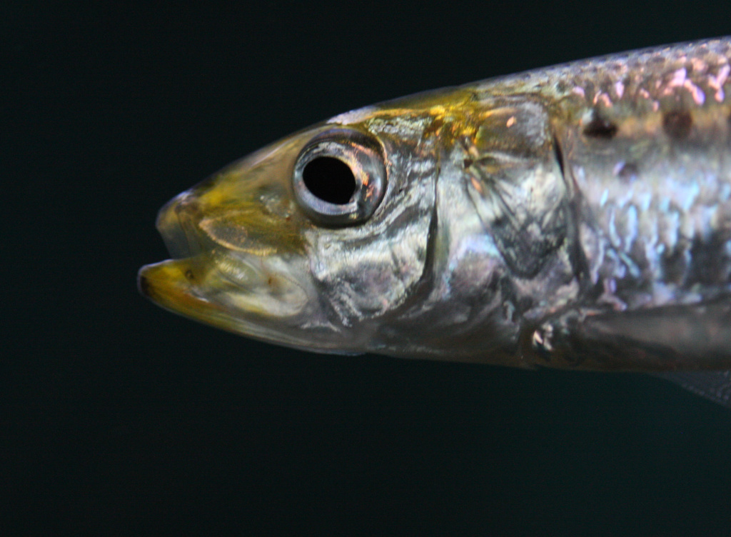 California's grunions will run this weekend.