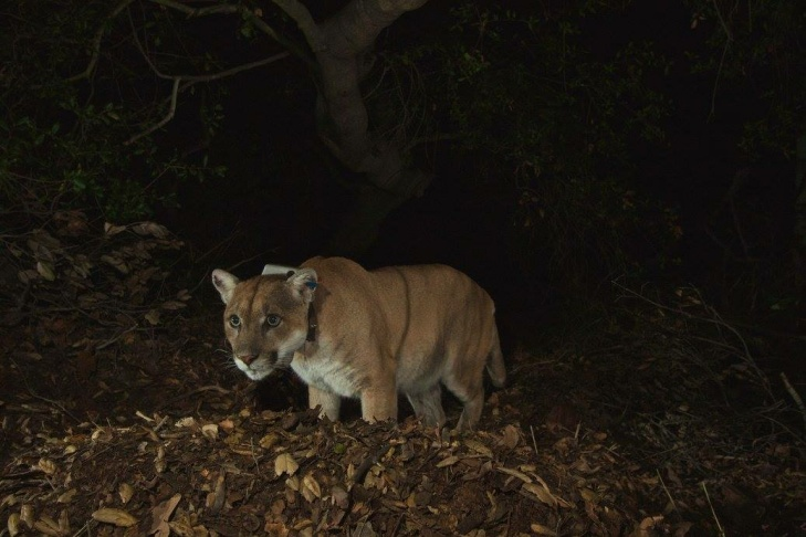 Felix? Yossarian? Pounce de Leon? Huell? Puma Thurma? Cast your vote for P-22's new name.