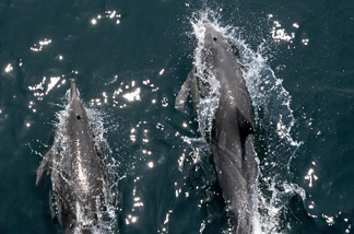 File photo: Members of a pod of common dolphins surf the bow wake of a boat during an excursion to search for endangered blue whales, in the Pacific Ocean off the coast of Long Beach, California on July 16, 2008.