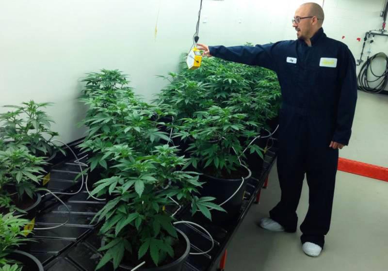David Holmes with his 'mother' plants at Pegasus Nevada.