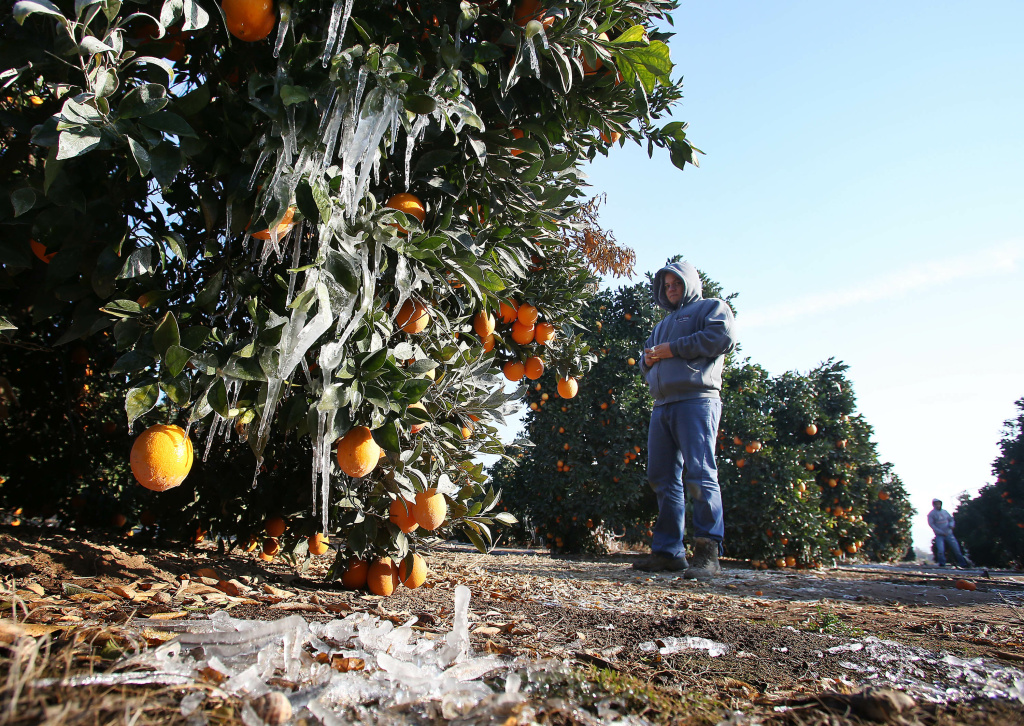 Field worker Fernando Villenueva waits for warmer temperatures to begin picking oranges during a cold snap that is affecting the San Joaquin Valley citrus crop Friday, Dec. 6, 2013 in Orange Cove, Calif.