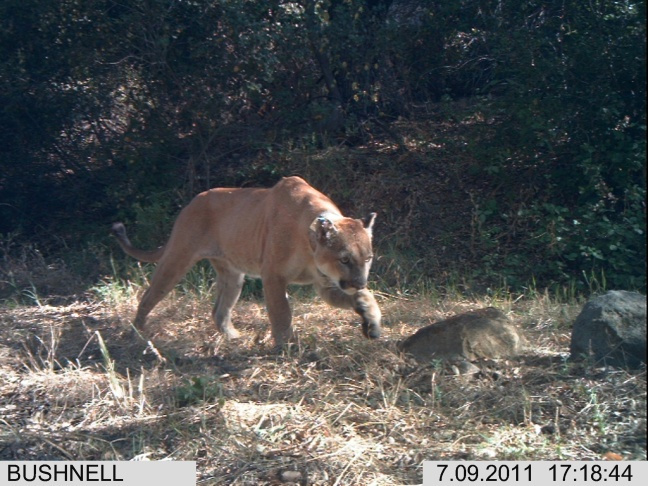 P-12, captured here with a remote camera trap, is the only lion documented to have successfully crossed the 101 Freeway during the course of the decade-long National Park Service study.