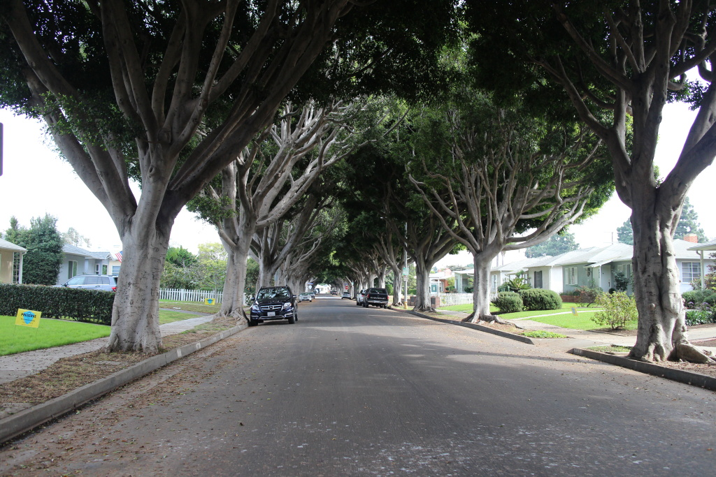 The quiet street on the east side of Santa Monica is coated by a thick canopy of ficus trees.