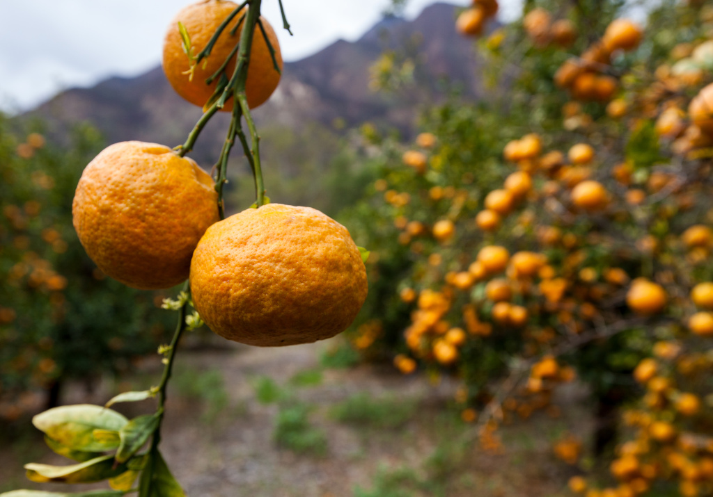 Tangerines in drought ridden Ojai.