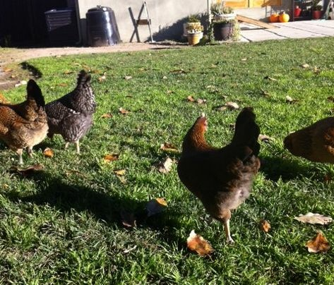 Chickens strut their stuff