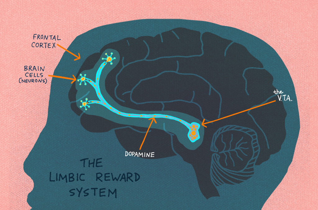 The Limbic Reward System lights up when curiosity is piqued.