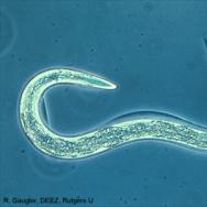 Nematode (roundworm)