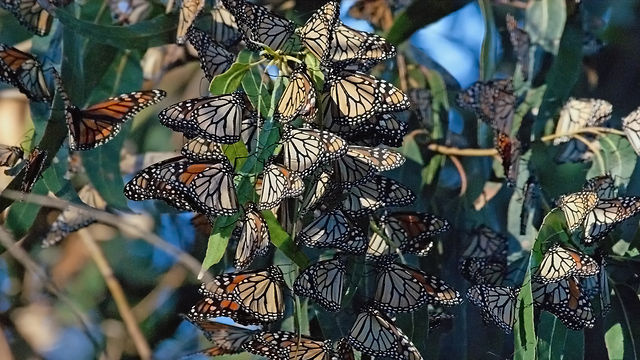 Monarch butterflies cluster together while spending the winter at Pismo Beach in San Luis Obispo County, CA.
