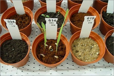 Testing plants for growth in Martian soils.