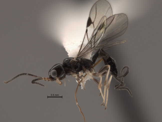 A photo of the Sinuatophorus wasp, native to Taiwan. Scientists at U.C. Riverside are studying whether the insect could help battle the region's growing polyphagous shot hole borer infestation.