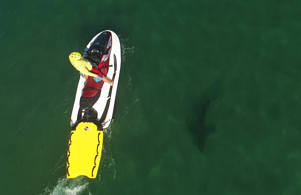 A researcher stands on a jet ski while a baby white shark swims in waters below.