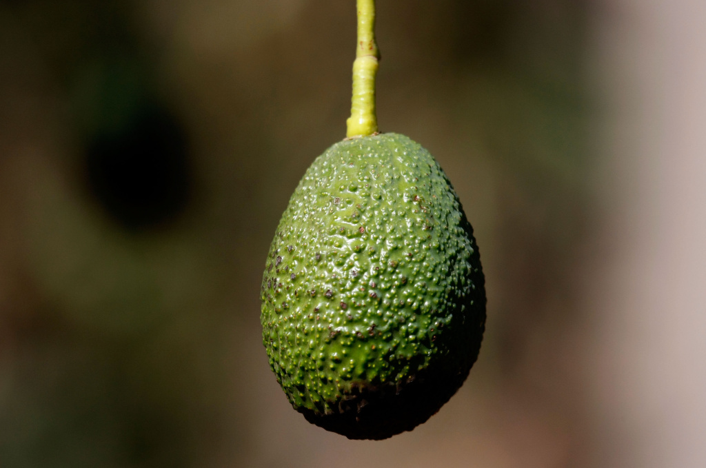 Avocado growers in Mexico have figured out that Americans need a lot of avocados about now, and they're always ready to meet the demand.