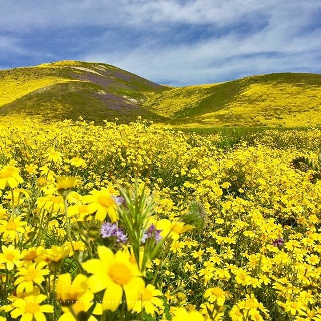 The Super Bloom at Carrizo Plain in San Luis Obispo County, April 2016.
