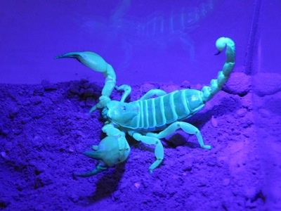 A large-clawed scorpion fluoresces under ultraviolet light.