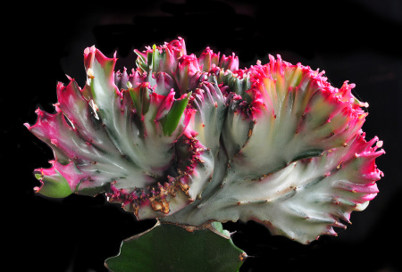 Crested cacti are drought-tolerant, and visually striking.