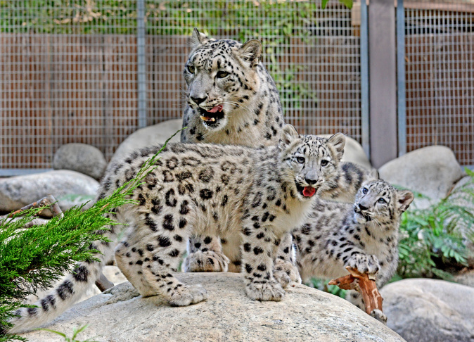 Two Endangered Snow Leopard Cubs Made Their Debut At The Los Angeles Zoo On Sept
