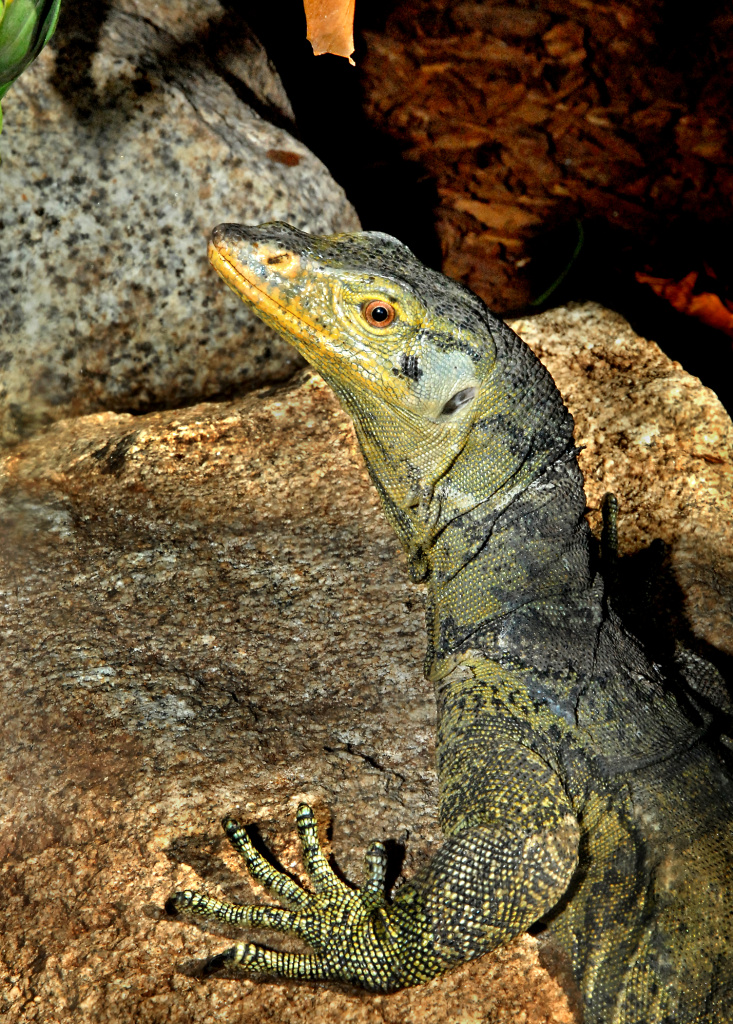 A Gray's monitor. They are featured in the Care and Conservation room in the LAIR. The new exhibit opens March 8, 2012. The Los Angeles Zoo is one of only a few zoos in the U.S. to house the endangered Gray's monitor.