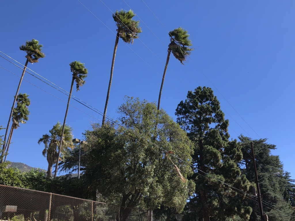 Palm trees bend over power lines in Altadena because of Santa Ana winds.