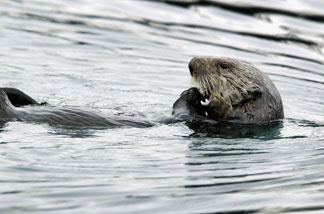 File: A sea otter feeds, April 6, 2004, near Valdez, Alaska.