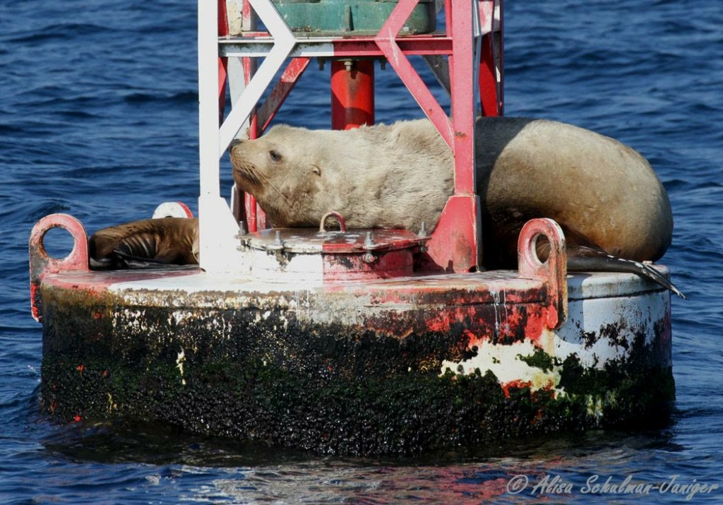 Steller sea lion vs. California sea lion