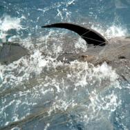 pilot whale gillnet