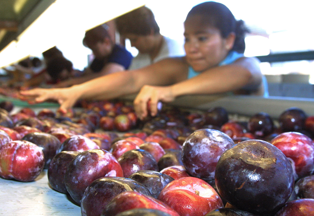 File photo: A woman separates Pluots at a packing facility on Thursday, May 30, 2002 in Dinuba, Calif. Pluots, a cross between a plum and apricot, were part of a recall at a Central California company announced over the weekend.