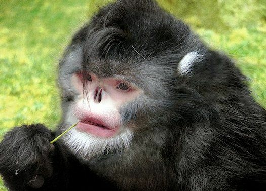 The Sneezing Monkey, discovered in Myanmar, one of several new species of animals discovered by scientists.