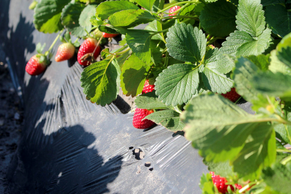 Strawberries in the field, near Plant City, Florida.