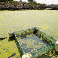 Green algae moves towards a beach in Qin