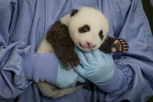The panda cub at the San Diego Zoo is starting to take a peek at the great, big world around him. During an exam on Wednesday morning Sept. 12, 2012, animal care staff could see the cub's eyes beginning to open.