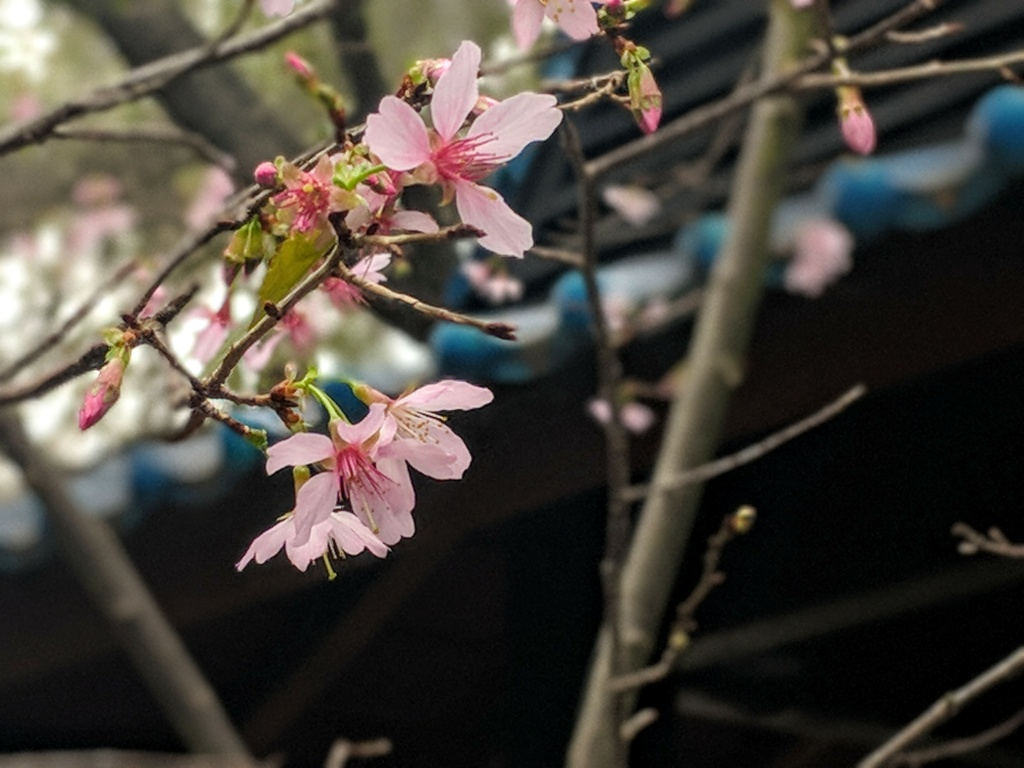 Cherry blossoms are appearing on trees in Descanso Gardens in mid-February 2018 because of warmer temps. They should have burst forth in mid-March.