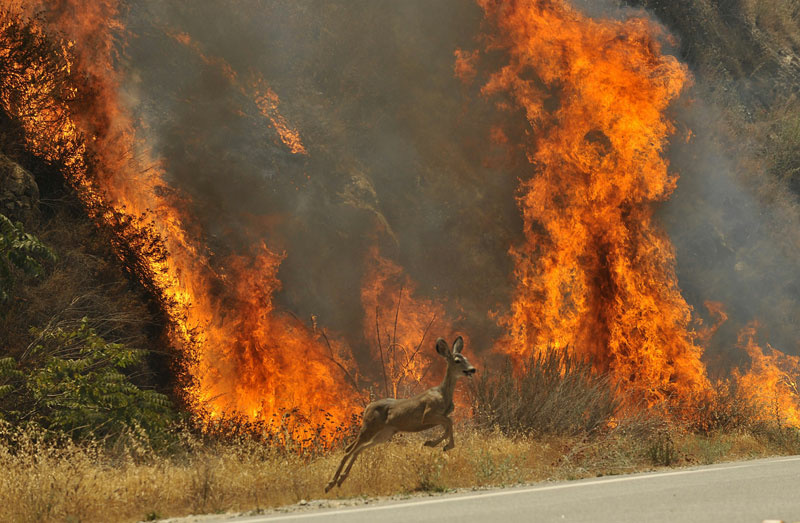 This Aug. 30, 2009 file photo shows a deer escaping a wildfire in the Angeles National Forest near Los Angeles.