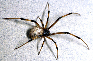 The brown widow spider, Latrodectus geometricus, is believed to be from Africa or South America. Researchers say it is expanding across California.