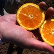 Oranges.BobDautch.jpg