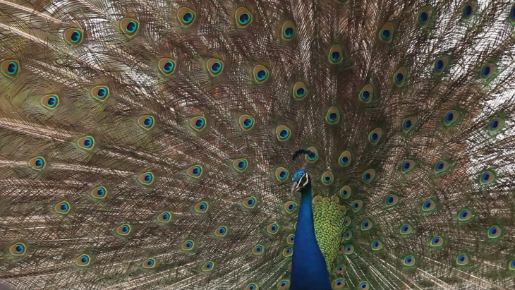 Society for the Prevention of Cruelty to Animals Los Angeles (spcaLA) is asking for the public's help in providing any information that will lead to the arrest of the suspect responsible for killing a peacock in the Palos Verdes Peninsula area.