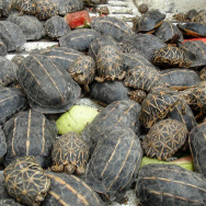 Tortoises are pictured at the Shahjalal