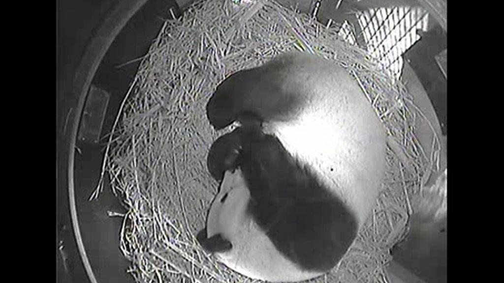 Panda mother Bai Yun immediately cuddles her cub after birth.