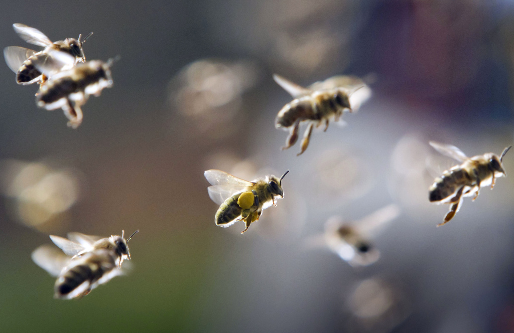 In this file photo, bees, partly loaded with pollen, return to their hive in central Germany. A hive disturbed by a car accident in La Cañada Flintridge on Sunday swarmed the two drivers involved. Both drivers were treated at a hospital.