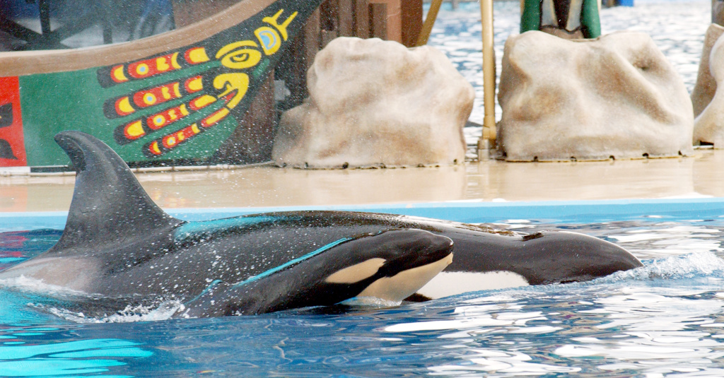 A mother and baby orcas, also called killer whales, swim at Sea World in San Diego. The company just filed for a $100 million IPO, much of which may go to put a dent in $1.7 billion of debt.