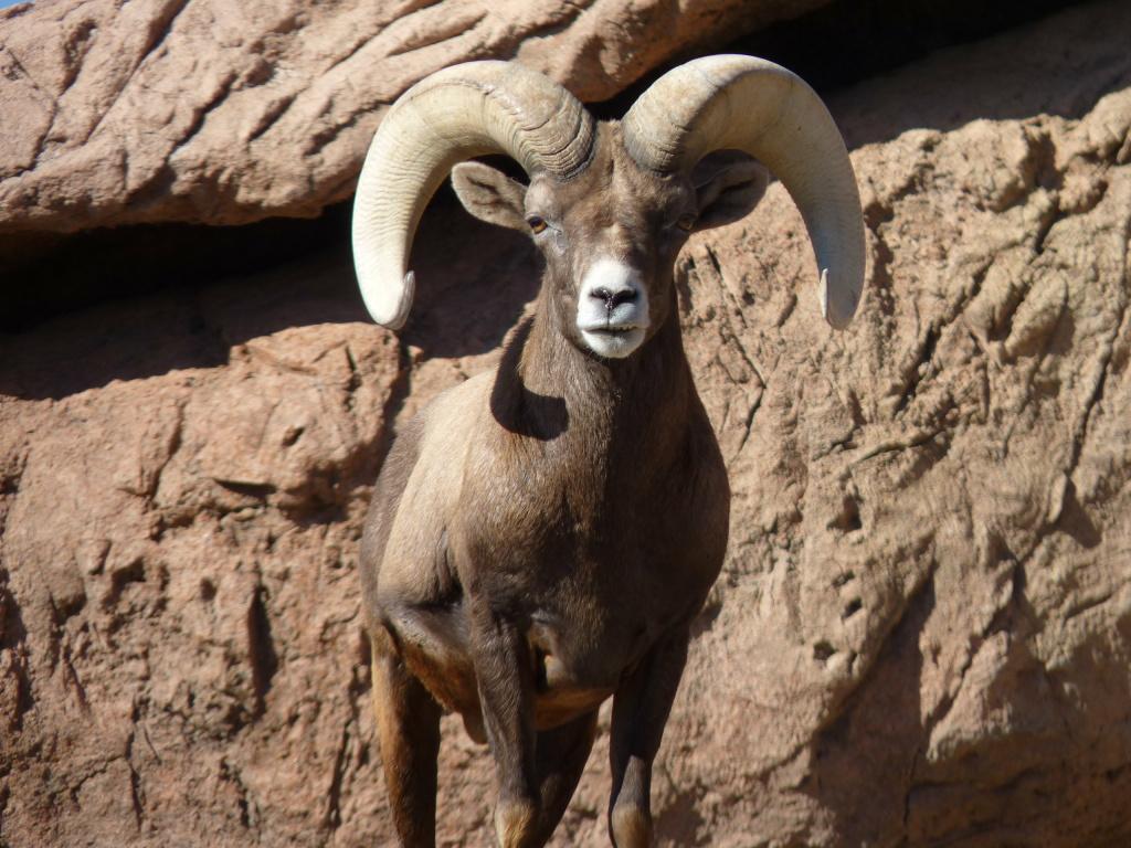 File: A bighorn sheep.