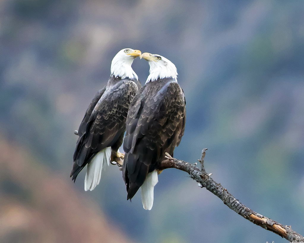American Bald Eagles, San Gabriel Canyon